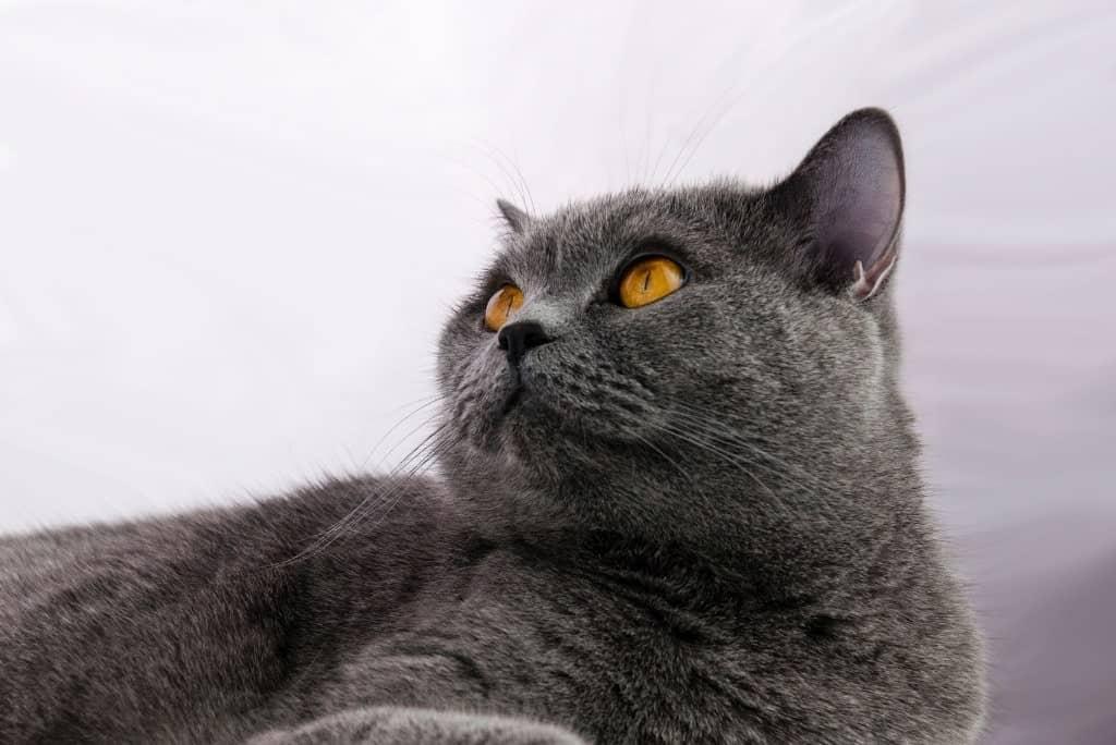 gray cat thinking