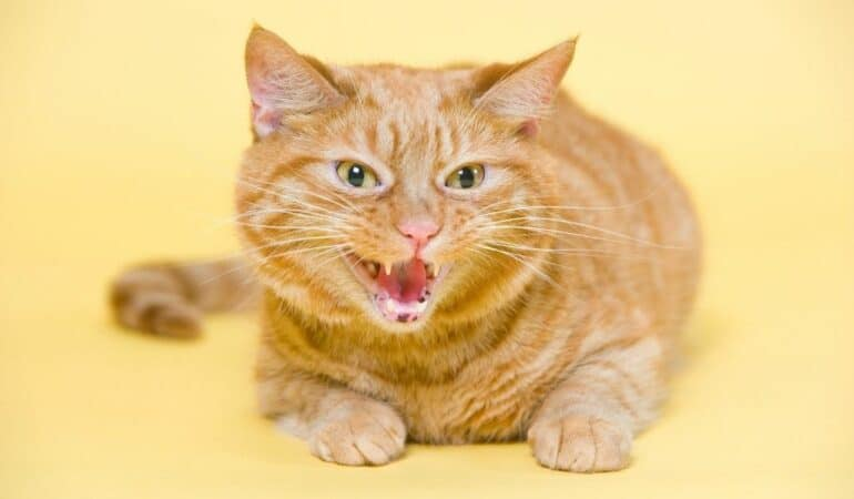 stressed cat hissing on yellow background