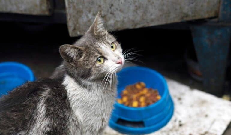 dirty gray and white stray cat getting fed with cat food
