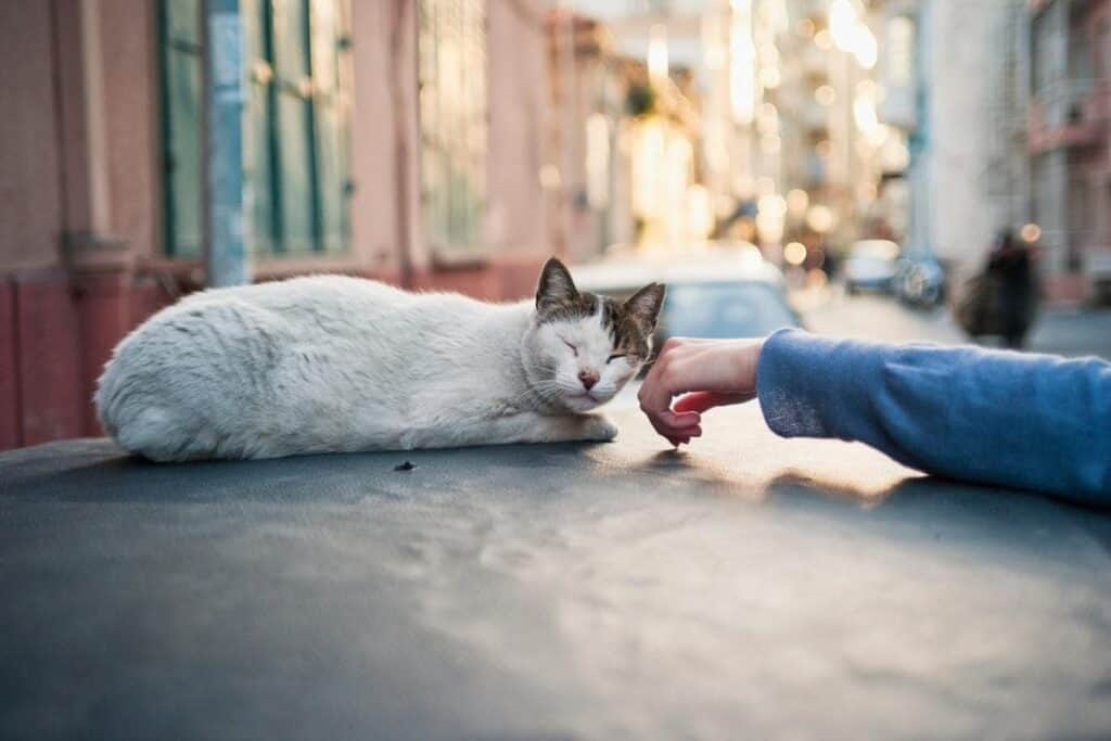 woman petting stray cat sitting on car in street