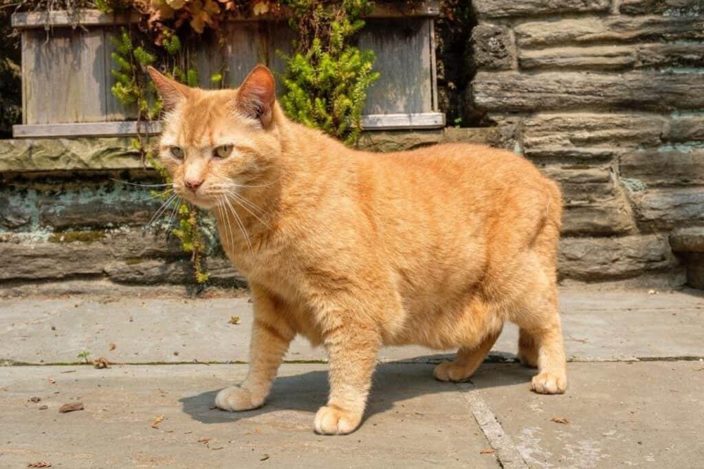 orange neighborhood cat