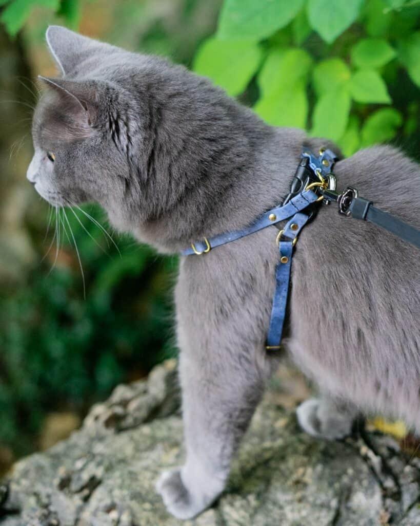 grey adventure cat on rock wearing blue Supakit harness