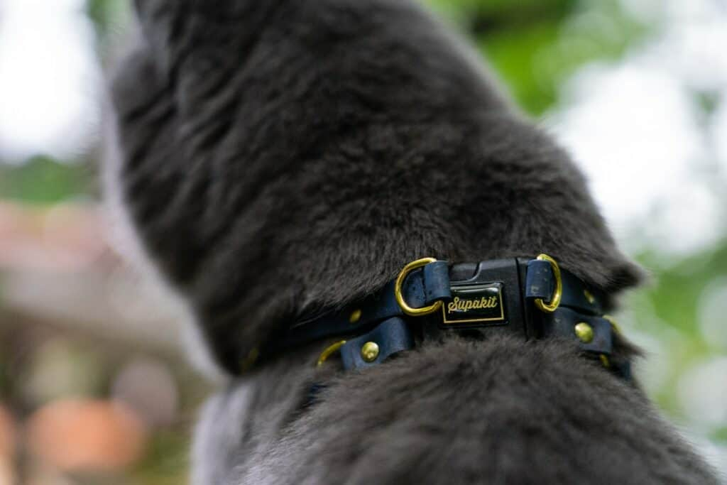 gray cat wearing cat harness with buckle displaying the brand Supakit