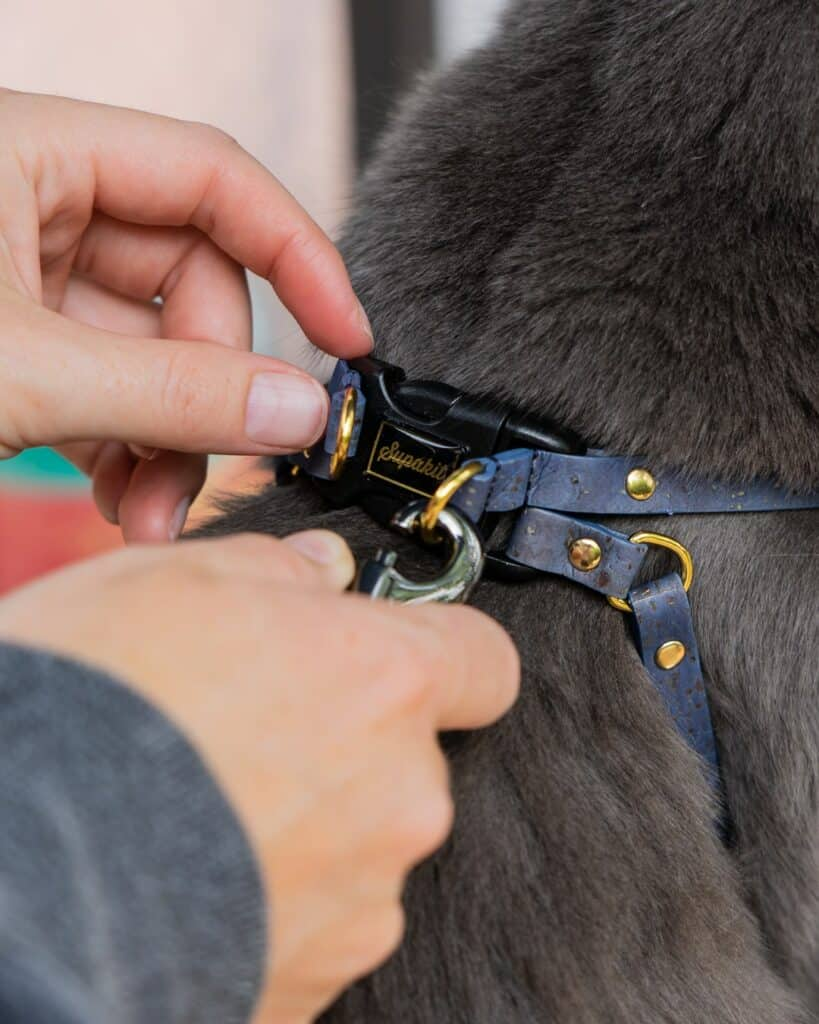 woman attaching cat leash to cat harness by Supakit