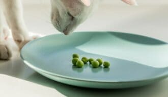 white cat looking at plate of peas