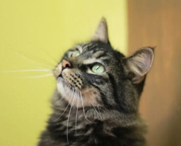tabby cat looking up thinking about the world