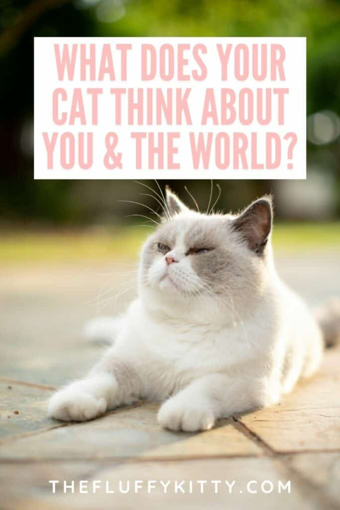 what does your cat think about you and the world text overlay with white gray fluffy cat
