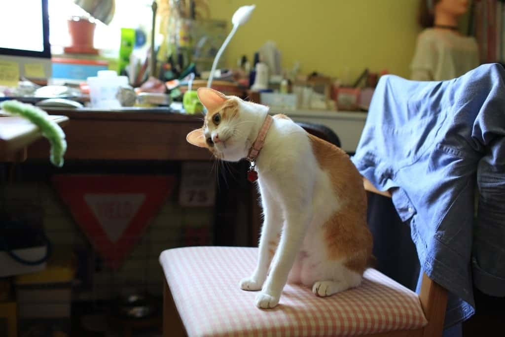 cat on chair tilting head thinking about