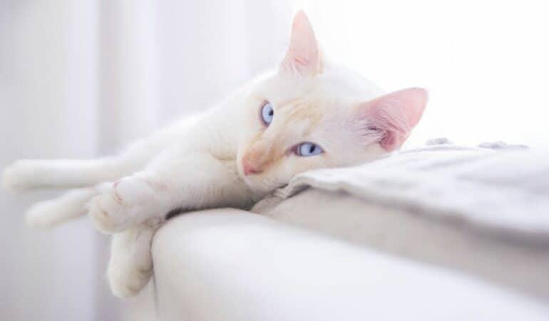white cat with blue eyes sleeping on ledge