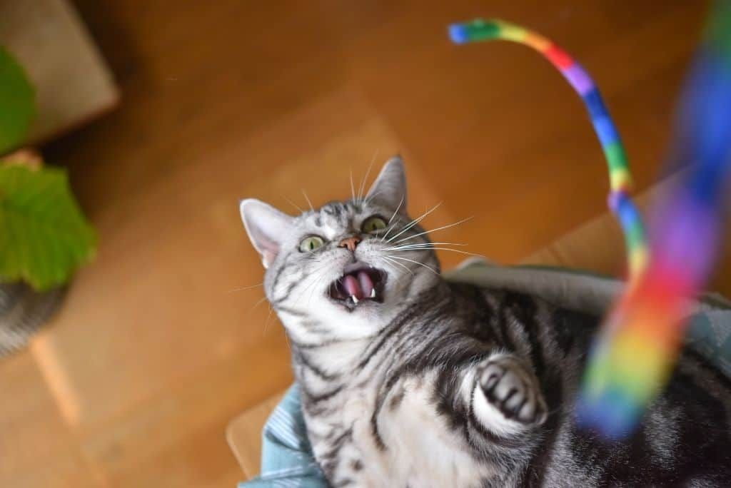 tabby cat playing with toy