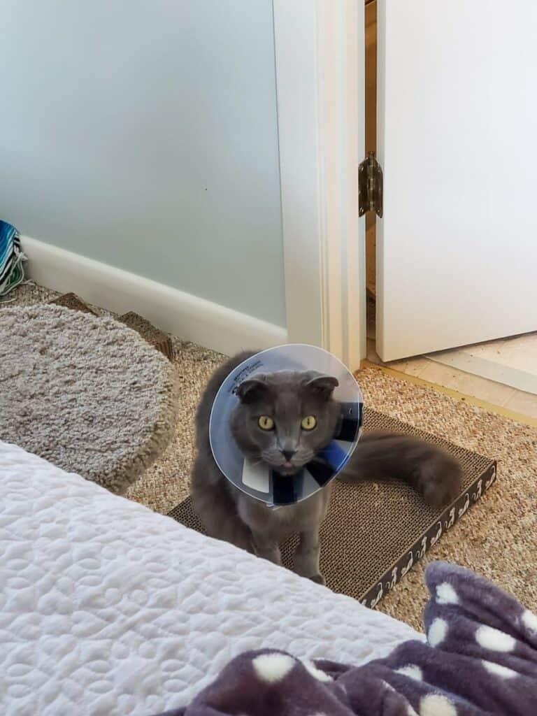 gray cat wearing e-collar