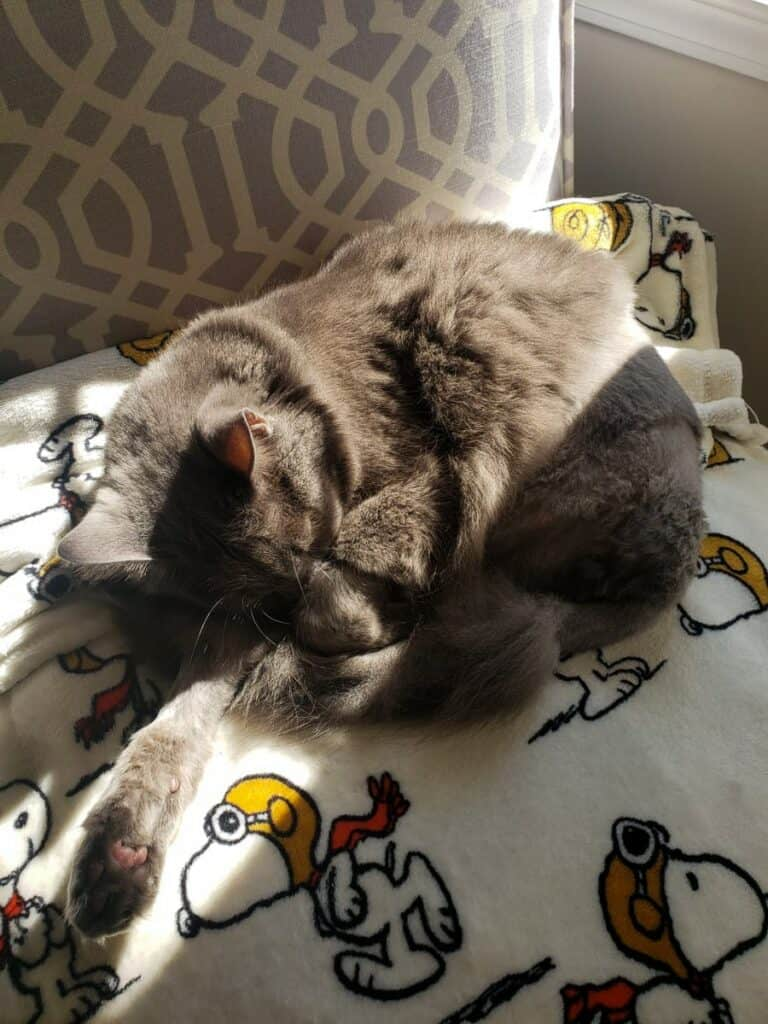 gray cat after high limp amputation from FISS cancer