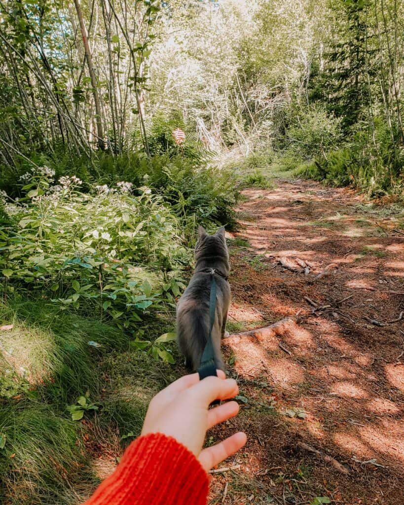 grey cat hiking on dirt trail with owner holding leash