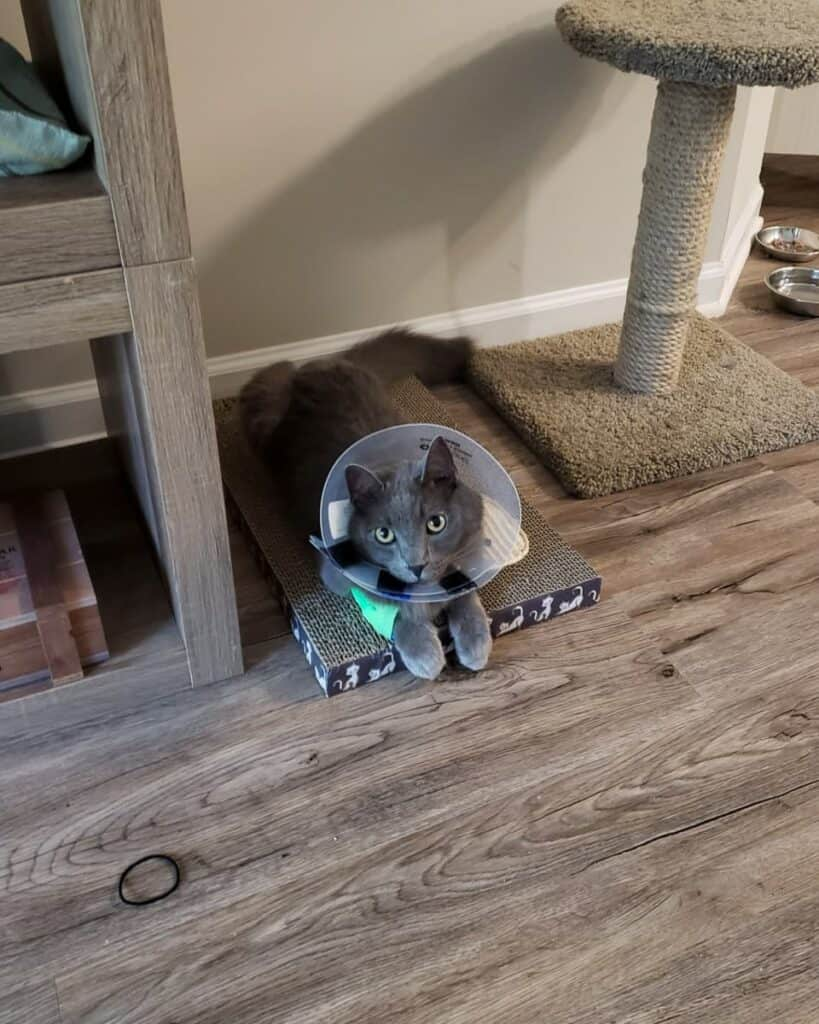 cat with cancer wearing e-collar