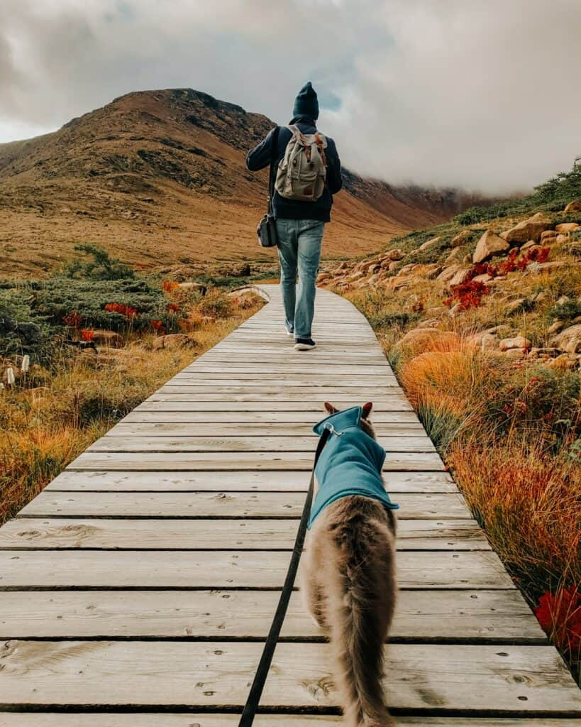 cat hiking on leash on wooded trail behind his owner
